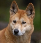 Dingo аватар
